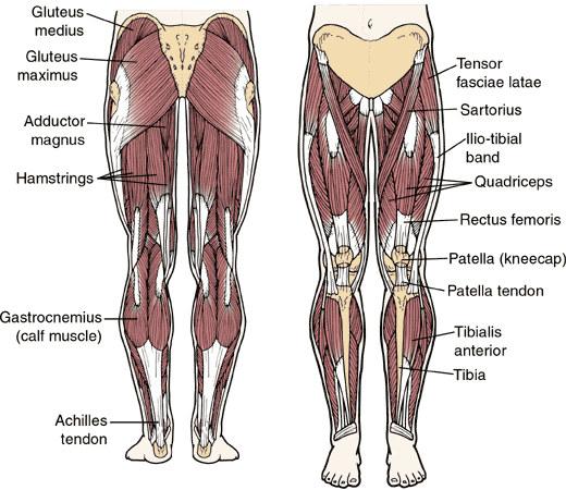 The leg muscles infocus247 left leg muscles ccuart Image collections