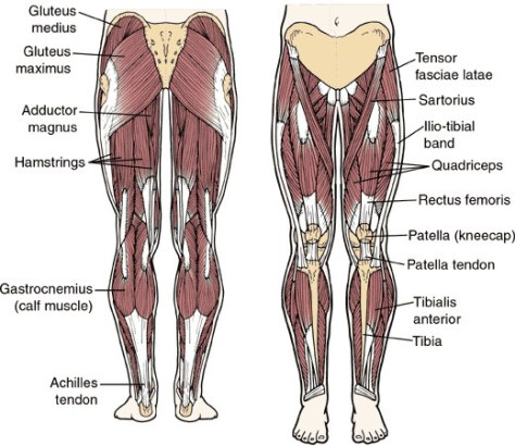 Left-leg-muscles