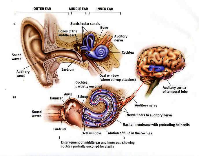 damaged hearing diagram venn diagram of sight and hearing why do your ears ring after hearing loud music? – infocus247