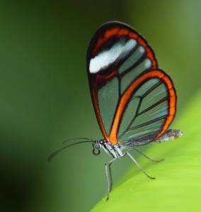 Glasswinged-Butterfly-Greta-oto-JA