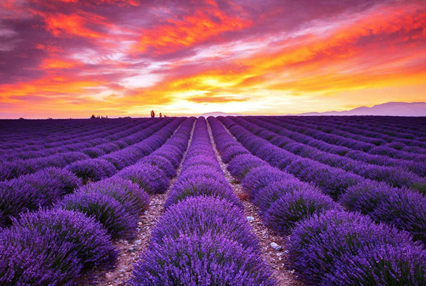 Fields of Lavender | The Journey Continues