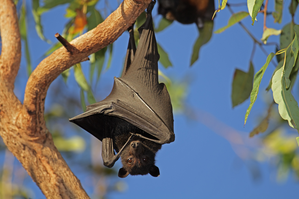 Giant Golden-Crowned Flying Fox | The Journey Continues